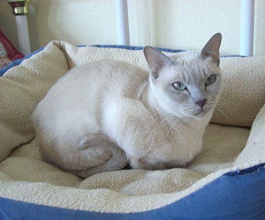 Rosaline Platinum Mink Tonkinese Tonkinese Cat Tonkinese Domestic Cat Breeds