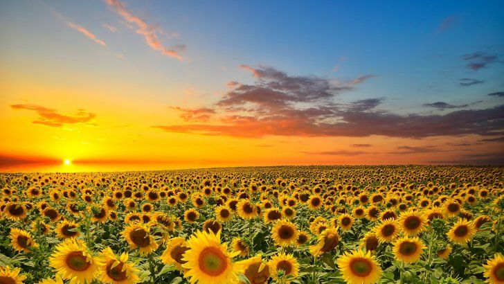 Puesta De Sol Sobre Campo De Girasoles Campo De Girasoles Puestas De Sol Arte De La Tierra
