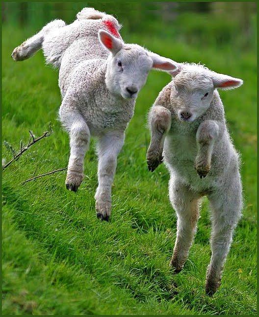Baby Lambs Jumping