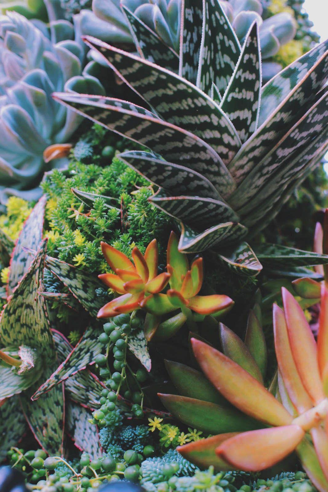 Succulents Cultivated St Louis Botanical Garden Succulents