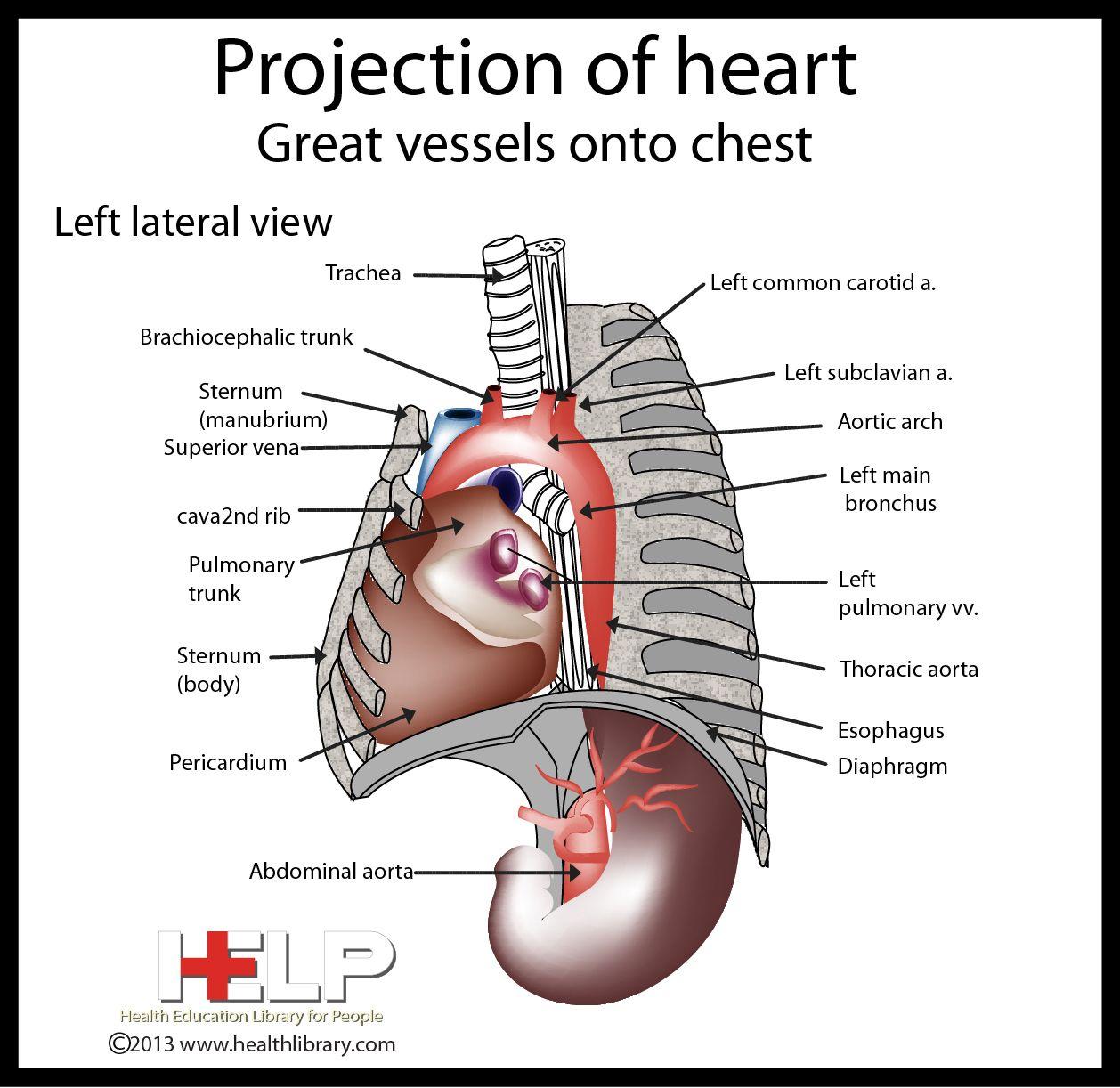 Projection Of Heart   Heart   Pinterest