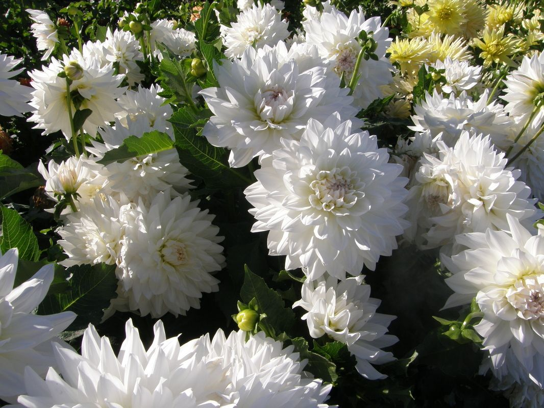 Cumulus A Fd White With Faint Blush Dahlia Flowers Garden Inspiration
