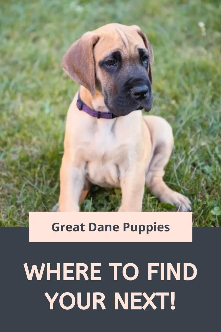 Stunning Great Dane Puppies Puppies For Sale Dane Puppies Cute Dogs Great Dane Puppy