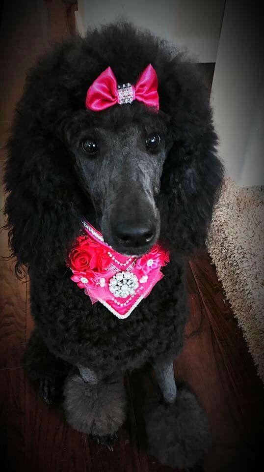 Persephone Poodle Dog Beloved Dog Standard Poodle