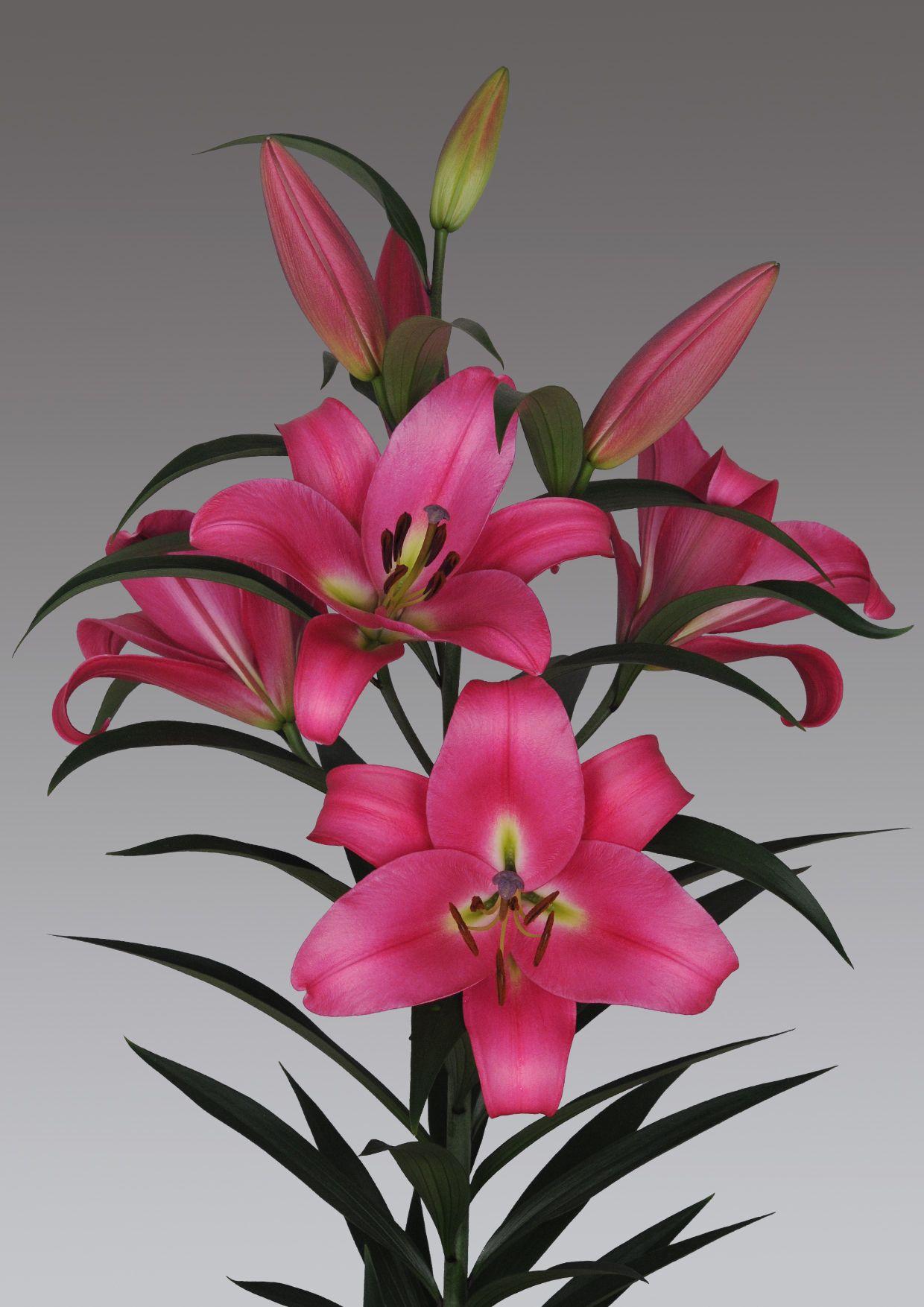 Pink Lily Profundo Lilium Profundo Pinterest Lilium