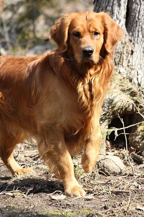 What S Up By Sue Chisholm Dogs Golden Retriever Golden Retriever Retriever