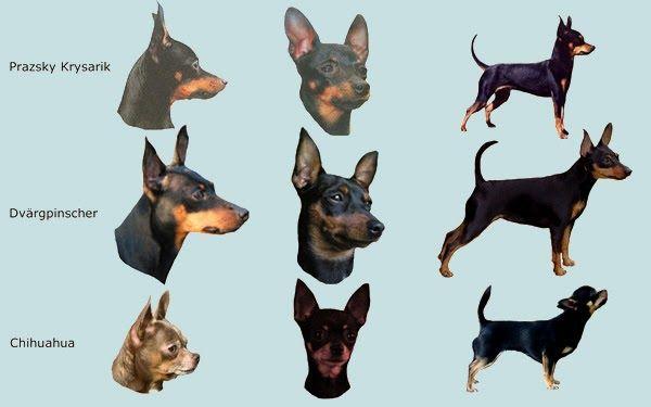 Image Result For Black Tan Chihuahua Vs Min Pin Mini Pinscher