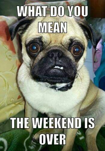 What Do You Mean The Weekend Is Over Pugs Funny Cute Pugs Pugs