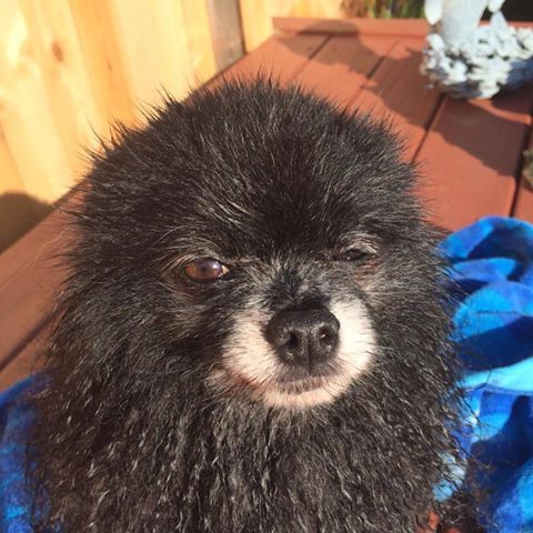 And This Is What I Think About Bath Time Pomeranian Pomimo