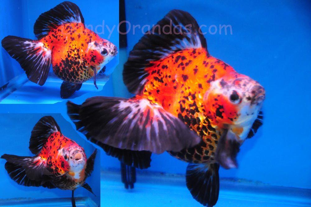 Calico Ryukin Goldfish Ryukin Calico Size 4 Picsant