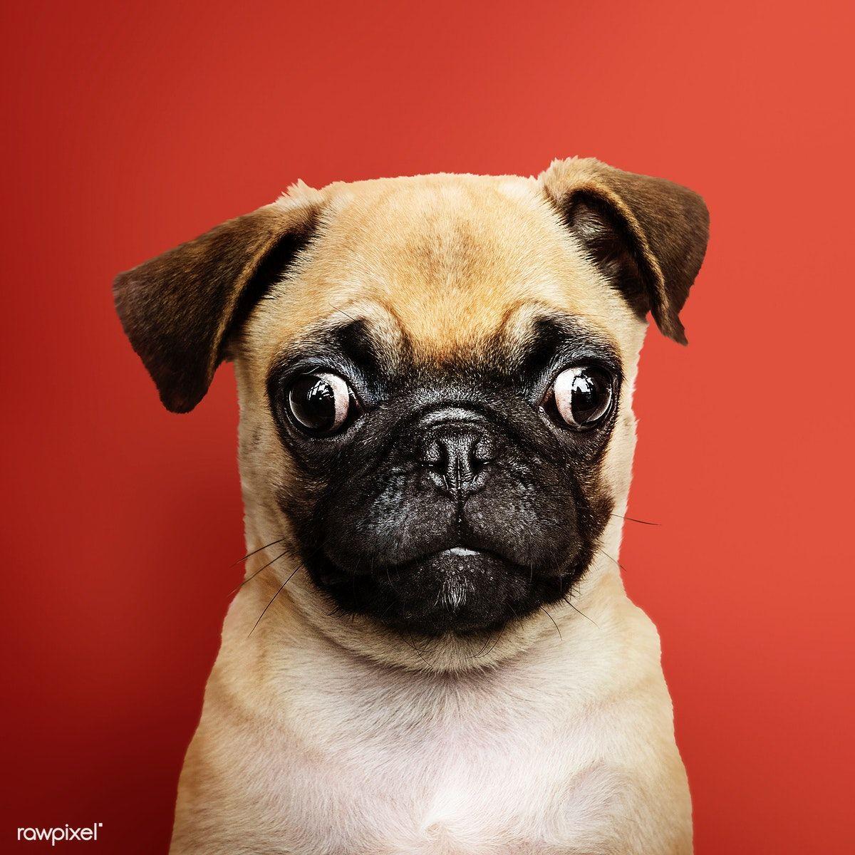 Download premium image of adorable pug puppy solo portrait