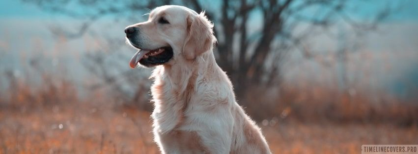 Smart Golden Retriever Facebook Cover Golden Retriever