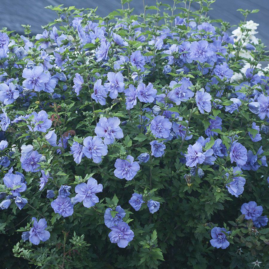 hibiscus blue chiffon hibiscus shrub and gardens. Black Bedroom Furniture Sets. Home Design Ideas