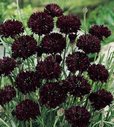 Bachelor S Button Black Ball Garden Seeds Annual Flower Seeds Flower Seeds Black Garden Annual Flowers