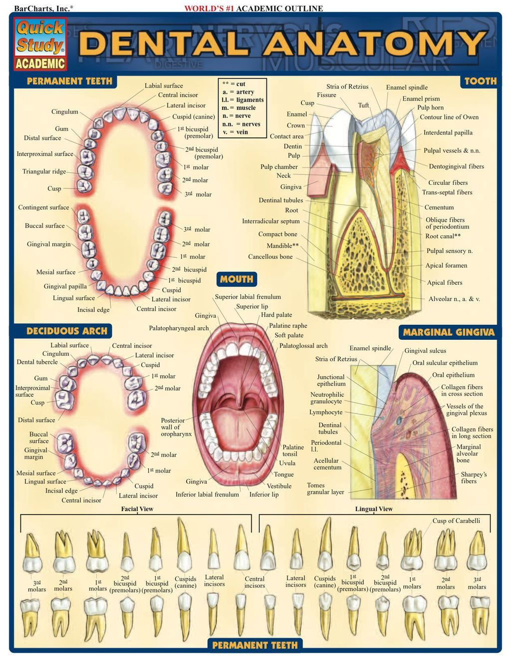 Dental Anatomy (eBook) #dentalassistant