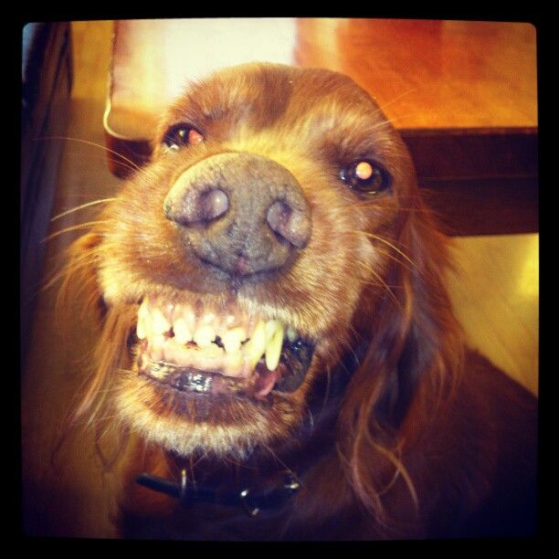 Irish Setter.....smile. I taught my moms dog Annie did this!! So funny!