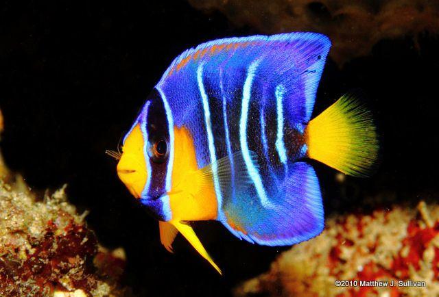 Juvenile Queen Angelfish Animais Marinhos Animais Peixes