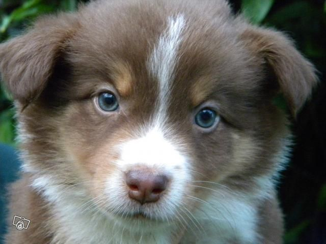 Border Collie Chocolate Tri Purebred Quality Pets For Sale