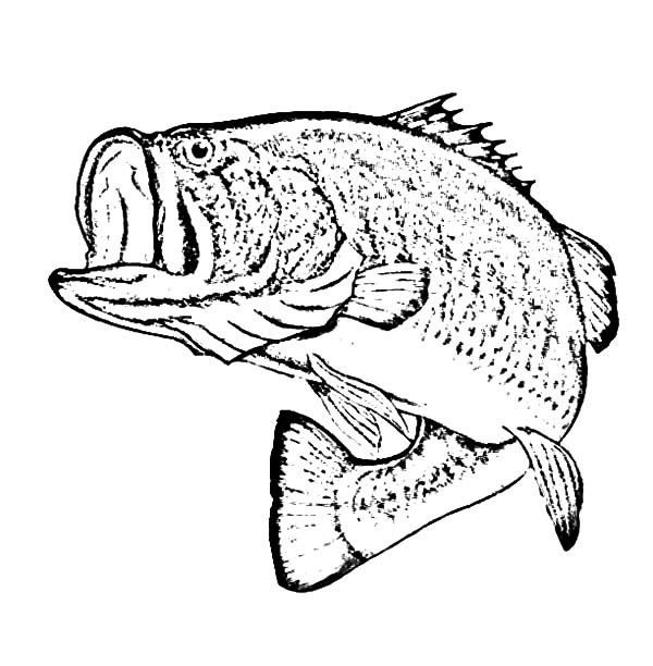 Bass Fish, : Sketch Of Bass Fish Coloring Pages Fish Coloring Page, Fish  Sketch, Fish Drawings