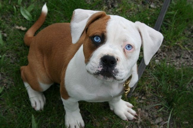American Bulldog Puppies Blue Eyes Wantttttttttttt American