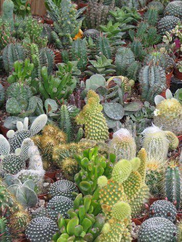 PIANTE GRASSE: un giardino del deserto a casa tua ...