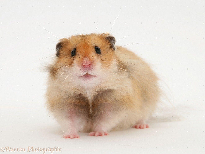 hamster care bear Teddy