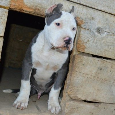 View Source Image Red Nose Pitbull Pitbulls Blue Pitbull
