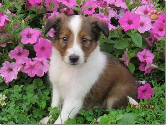 Casper Shetland Sheepdog Puppy For Sale In Quarryville Pa