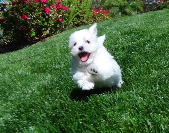 Male Akc Maltese Puppy Named Deuce Puppy Names Pets Puppies