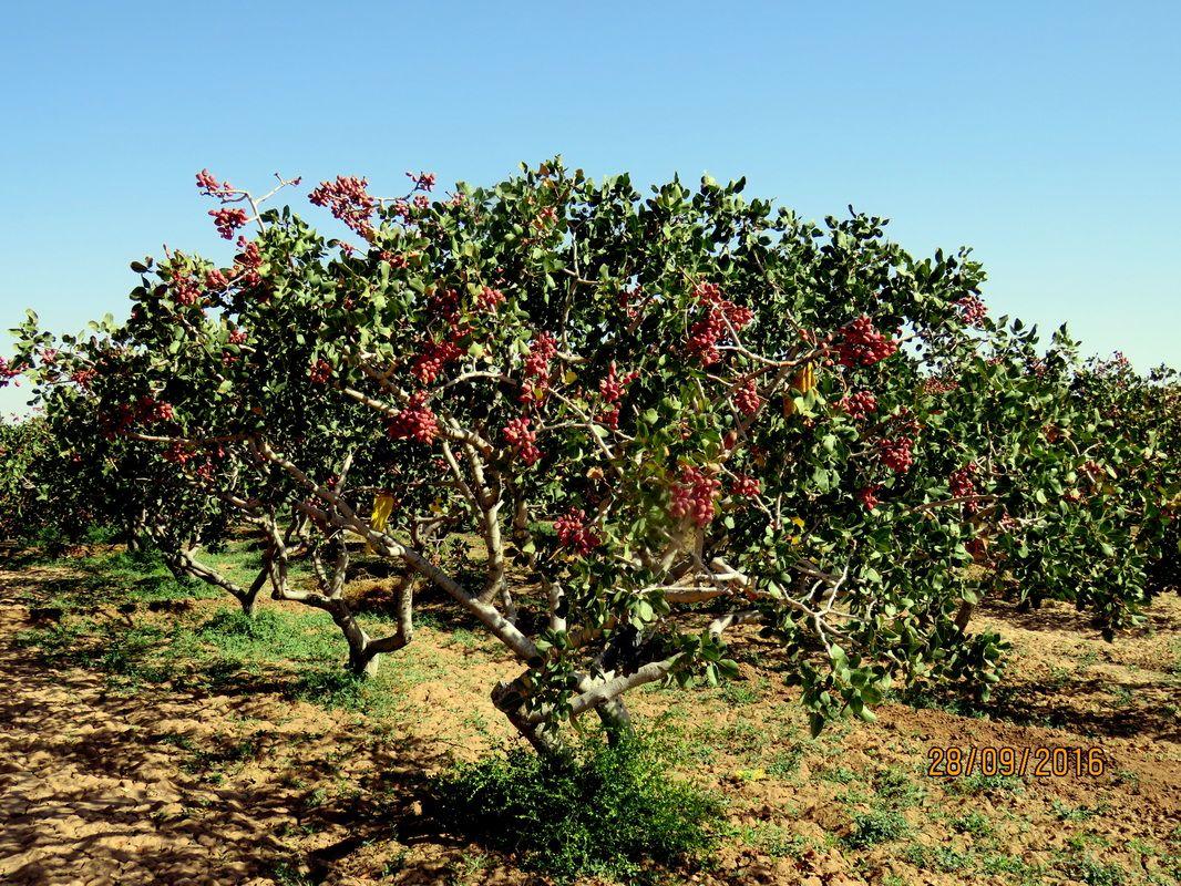 Pistachio Tree Pistachio tree, Tree