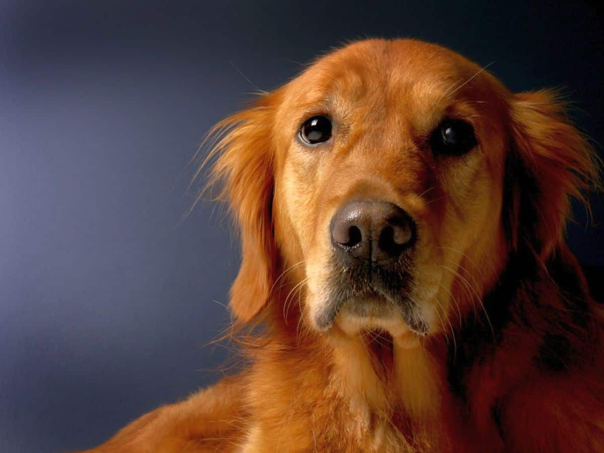 7 Ways To Manage Golden Retriever Shedding Canine Weekly