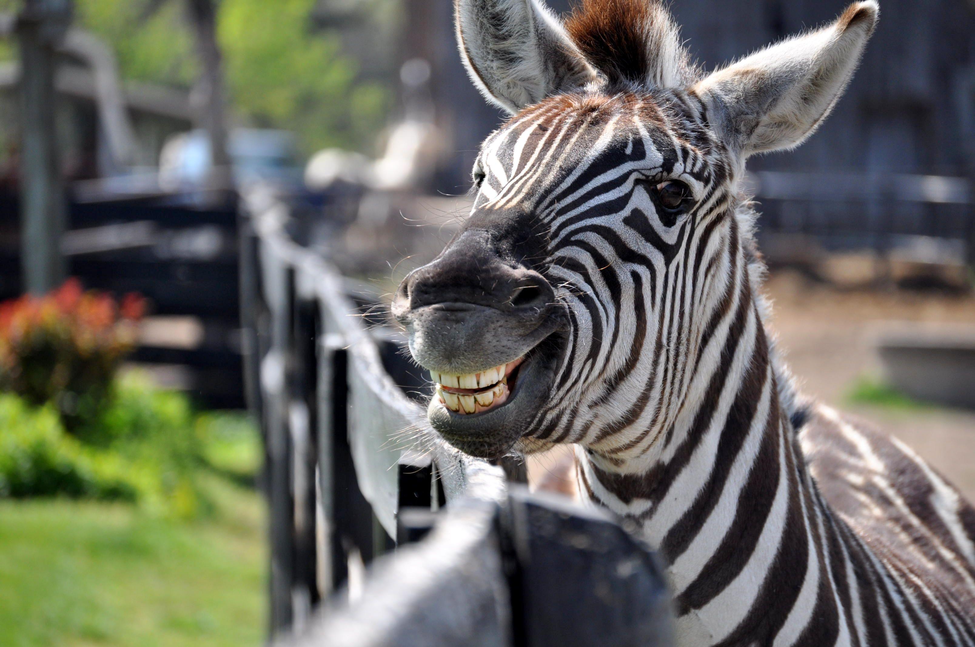 Картинка зебра прикольные