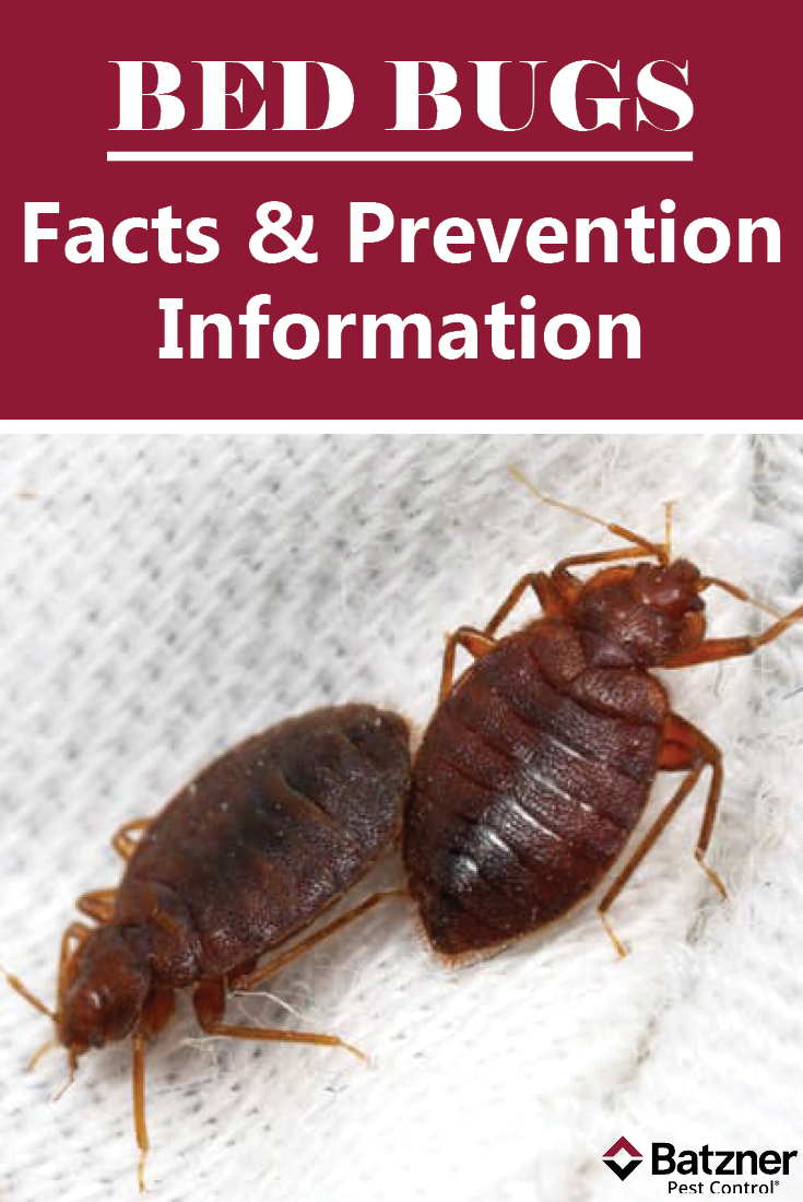 Learn how to correctly identify a bed bug and its basic