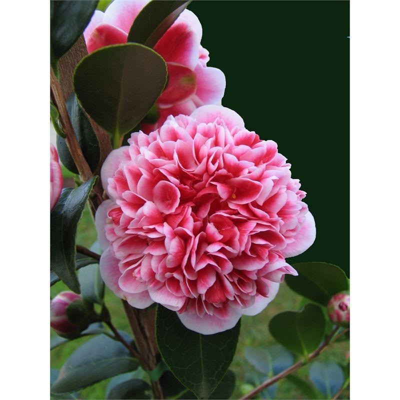 Our Range Beautiful Pink Flowers Flowers Plants