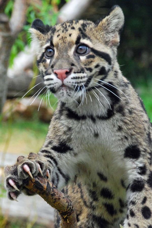 Sunda Clouded Leopard Vu Animals Wild Small Wild Cats Animals Beautiful
