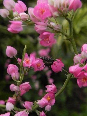 Amor-agarradinho (antigonon leptopus) - Faz Fácil