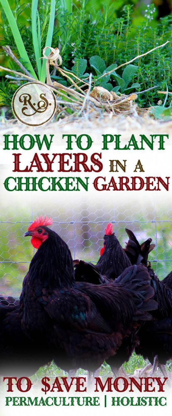 Grow a sustainable garden for your backyard chickens to