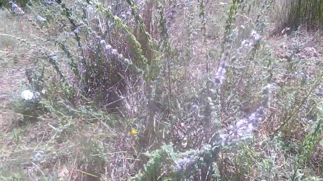 نمو نبتة فليو العطرية بشكل طبيعي في البراري Plants Outdoor World