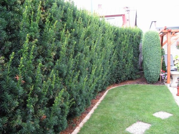 taxus x media 39 hicksii 39 google search garden patio. Black Bedroom Furniture Sets. Home Design Ideas