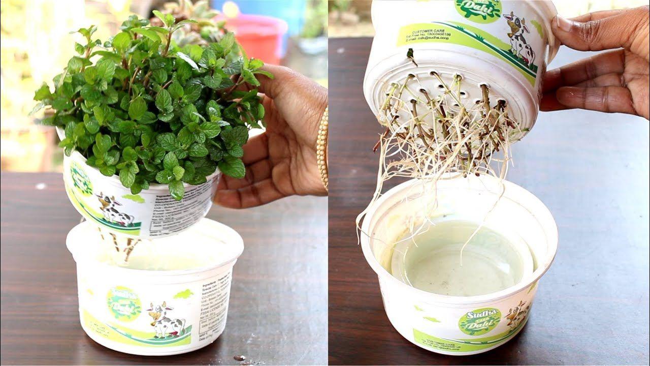 Grow Mint at home in water; Pudina उगाने का सबसे आसान