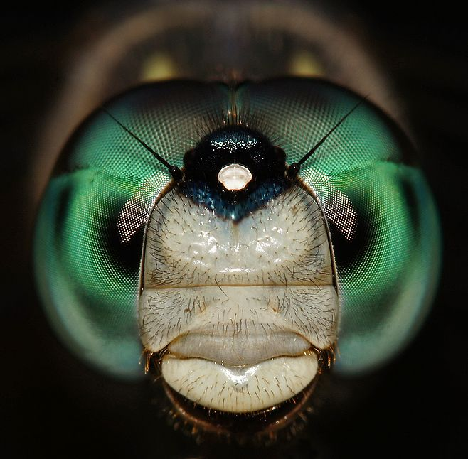 Dragonfly Portrait - JPG Photos