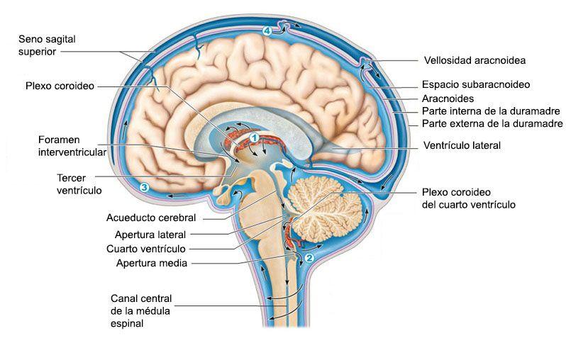 Líquido cefalorraquídeo en el cuello