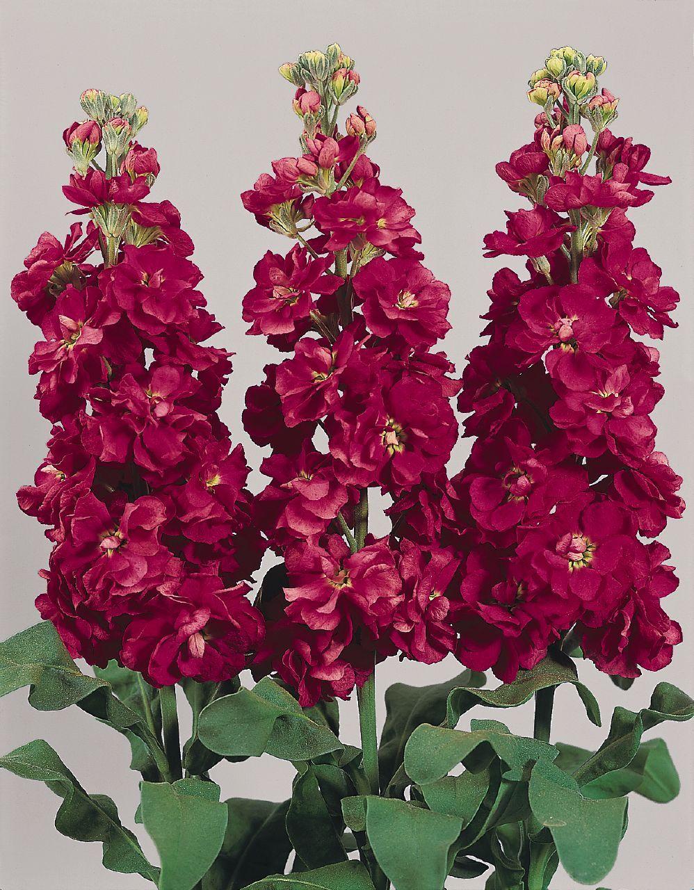 Come Coltivare I Lamponi matthiola incana seeds need light and continuous moisture to