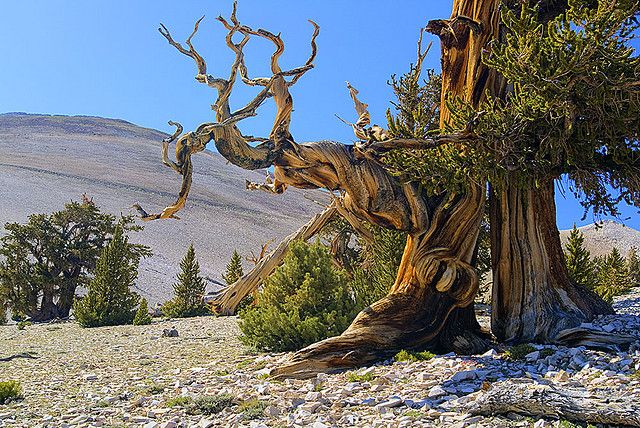 Bristlecone pine tree ring dating kits