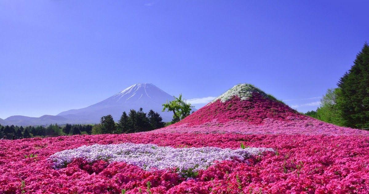 Pemandangan Indah Di Jepang Festival Fuji Shibazakura Pesona Hamparan Bunga Indah Di Download 25 Potret Keindahan Negeri Sakura Di 2020 Pemandangan Jepang Bunga