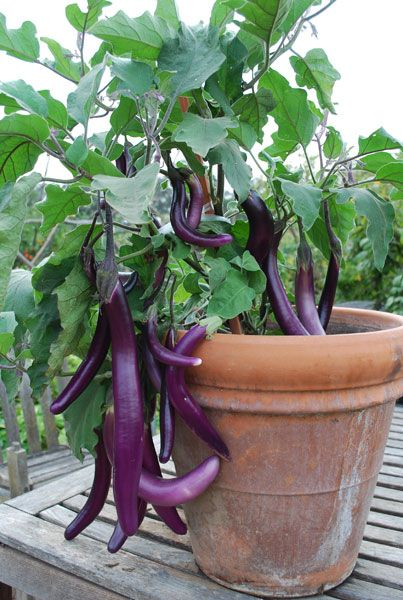 A great example of how productive ve ables can be in containers Long Asian eggplants like these are generally faster and higher cropping than the more