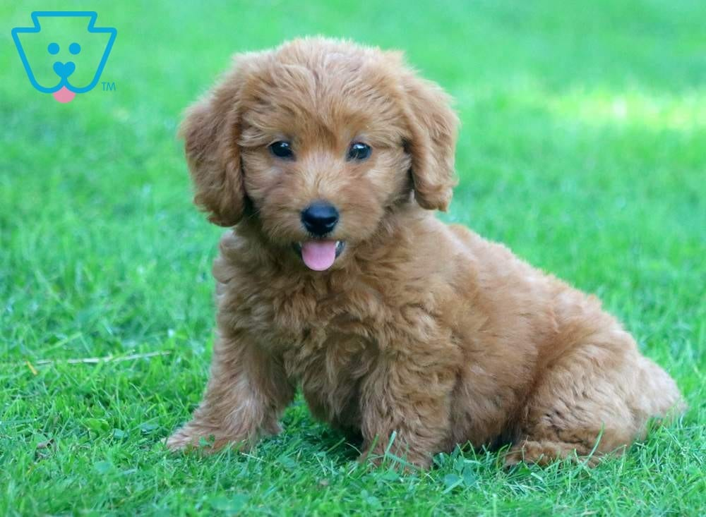 Dart Labradoodle Miniature Puppy For Sale Keystone Puppies Labradoodle Miniature Labradoodle Miniature Puppies Labradoodle