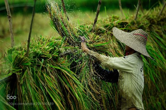 Heho Farmer !!!! A farmer in Heho, Myanmar was making a splash during his daily chore.