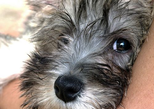 cairn terrier - looks just like my Robbie.  I miss his bright eyes...