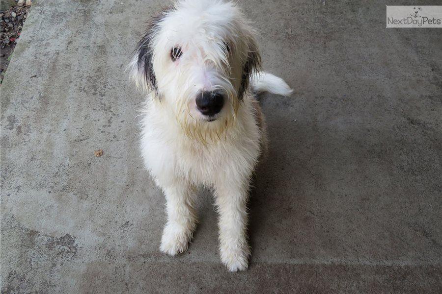 Baby Girl Olde English Sheepdog Puppy For Sale Near Seattle Tacoma Washington 8864401b 4841